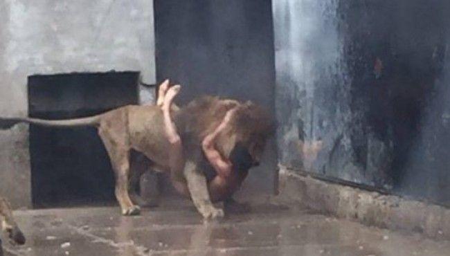 MENGERIKAN!!! Pria Ini Coba Bunuh Diri dengan Masuk Kandang Singa