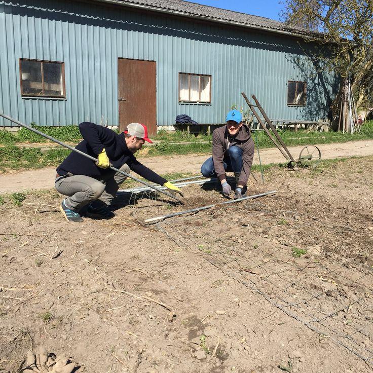 Organic flower farming, fence for pea flowers, vildevioler.dk, April 2016