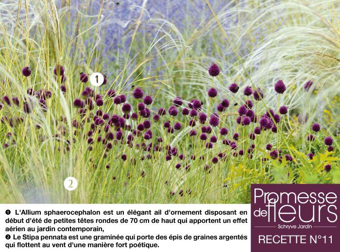 Recette de jardin N°11 - 1) L'Allium sphaerocephalon est un élégant ail…