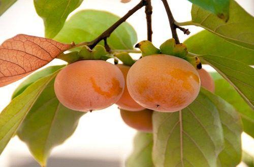 日本の秋のフルーツといえば富有柿。アメリカのスーパーにも並び、健康志向の高いアメリカ人にも人気です。食物繊維が豊富で腹持ちが良くカロリーも高くはないのでダイエット効果もあり、がん性腫瘍を溶解する働きのある成分も含まれています。富有柿は大変優れたフルーツのようです。#健康#Food#料理#レシピ#Recipe