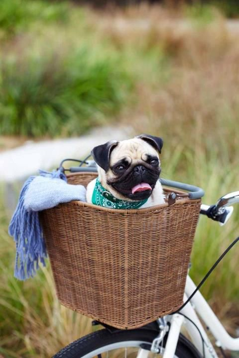 Pug in a basket.