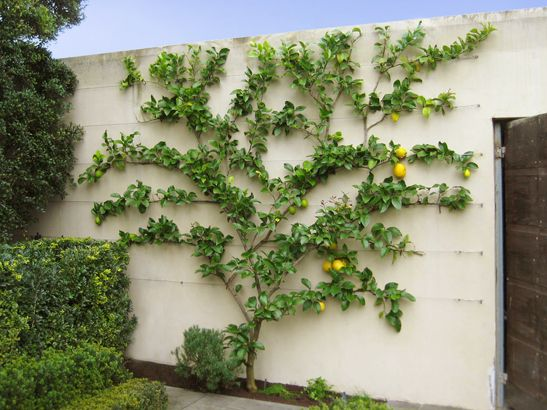 "Espaliered Lemon Tree; Espalier trees (they grow in rows along a wall) – like citrus, apple or even pear, apricot or cherry, can do wonders for smaller gardens and use up next to no space. ""You'll have a high yield citrus tree and use up only 100mm of garden space and you'll have a lush green wall."""