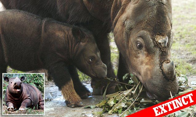 Sumatran rhinoceros driven to EXTINCTION in the wild in Malaysia. An animal that was once found across most of Southeast Asia has now been reduced to less than 100 individuals in Indonesia's wild and nine in captivity. And humans are largely to blame, a study says.