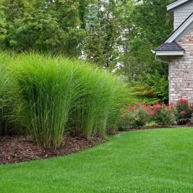 Miscanthus gracillimus is an ideal fast growing hedge plant