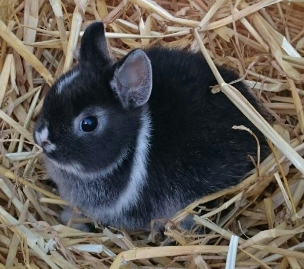 Kaninchen kaufen München, Zwergkaninchen kaufen München, Zwergkaninchen Züchter München