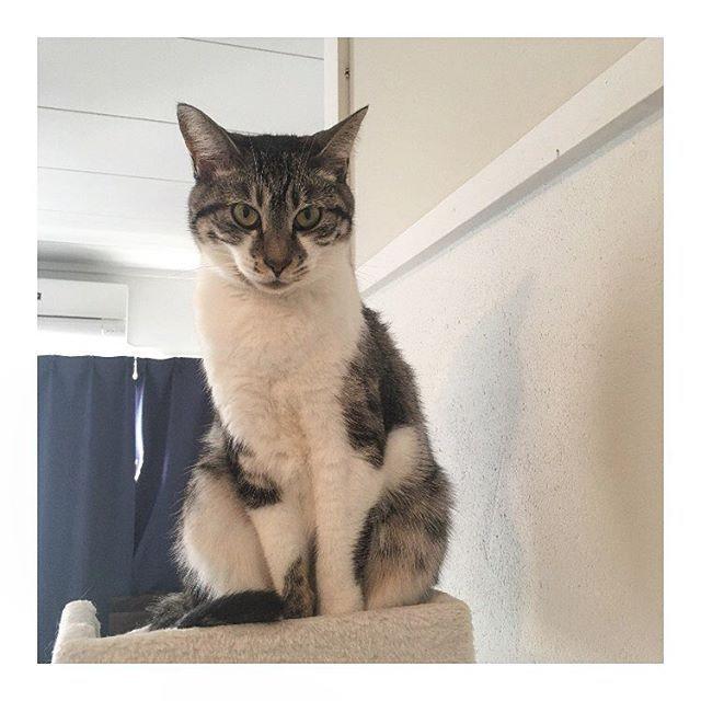 ******* 今朝のブルース。 なんか野性味あふれてる....。 最近私に対しての機嫌が悪め。 私だけ手かじられてる。 夫にはべったり。 私、とても悲しい(;_;) ・ ・ #cat#catstagram #nekostagram #picneko #ilovecat#instcats #みんねこ#にゃんだふるらいふ #にゃんすたぐらむ #猫のいる暮らし#愛猫#ブルース君#ぶーちゃん#ご機嫌ななめ#ツンデレ#私にもすりすりしておくれ#片思い