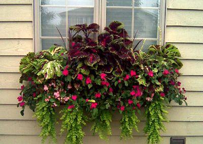 kinsman garden window box - love it, the creeping jenny, coleus, impatients
