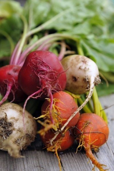 Types Of Beet Plants: Learn About Different Beet Varieties -  If you live in a cool climate, cultivating beets is the perfect garden project for you. There are many different beet varieties, so it's just a matter of deciding which types of beet plants you would like to grow. This article can help.