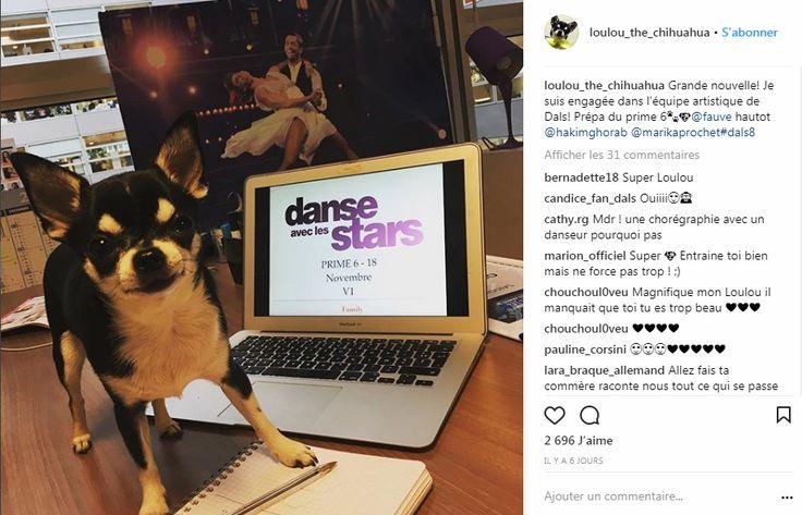 Voici Lou, le chihuahua qui Danse avec les Stars!