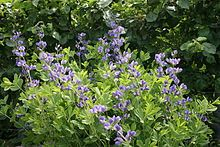 Blue Wild Indigo - seeds are toxic, 3-8 zone, full sun, low water, long tap root. Also known as False Indigo.