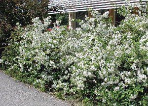 malus toringo var. sargentii e häck - Bukettapel - blommar även som klippt men kan likaväl vara friväxande