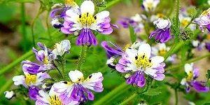 Схизантус - это достаточно эффектное растение, оно не так часто встречается в цветниках России. Однако заслуживает большего распространения. Его роскошные цветки напоминают цветки экзотической орхидеи.
