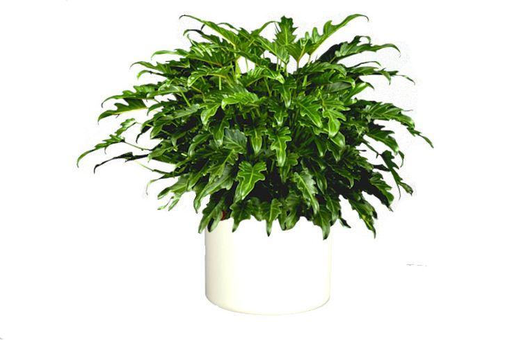 Les 107 meilleures images propos de plantes d polluantes - Les plantes depolluantes purifier l air de la maison ...