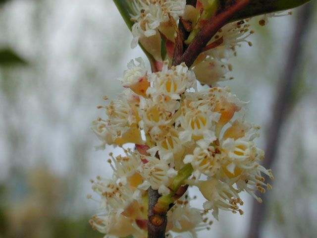 Prunus caroliniana (Cherry laurel) Perennial evergreen Tree. Can reach 36 ft but more often 15-20 ft. Flowers in 2 inch spikes, 12-36 ft. GROWING CONDITIONS Water Use: Medium  Sun, Part Shade  Soil Moisture: Moist  Cold Tolerant Soil Description: Moist, deep, loamy, well-drained soils. Likes the moist, well-drained soils of its natural range. Prolonged saturation can cause root rot, particularly in clay soils. Shallow, nutrient-poor, rocky soils can cause chlorosis and heat stress.