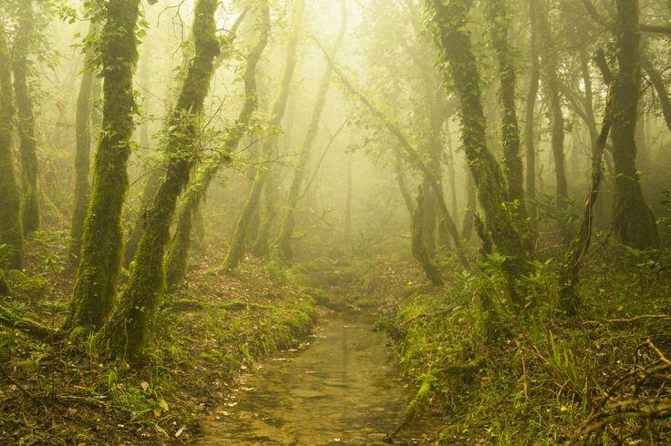 Luz en el bosque de niebla - EdteEn este bosque lluvioso al sur de Europa, España, Andalucia y Cadiz es la laurisilva mas al sur del continente europeo, estando casi siempre repleto de niebla debido a su alta humedad, por lo que es difícil que pase la luz a través de el, ademas de por su frondosidad.