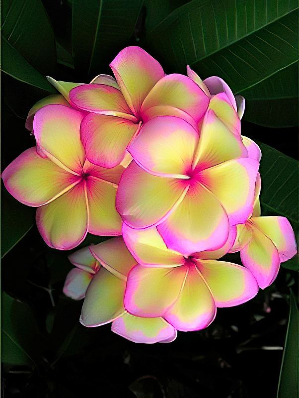 Plumeria Bonsai : plumeria, bonsai, Pcslot, Fresh, Plumeria, Rubra, Frangipani, Flower, Bonsai, Seeds, Online, Shipping, Worldwide, BestSeedsOnline.com, Flowering, Trees,, Plumeria,, Flowers