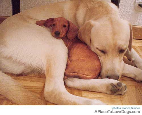 If the doxie was black and tan this could be Lucie and Parker :): Best Friends, Bff, Photo Galleries, Cuddling Buddies, Big Dogs, So Sweet, Black Labs, Little Dogs, Animal