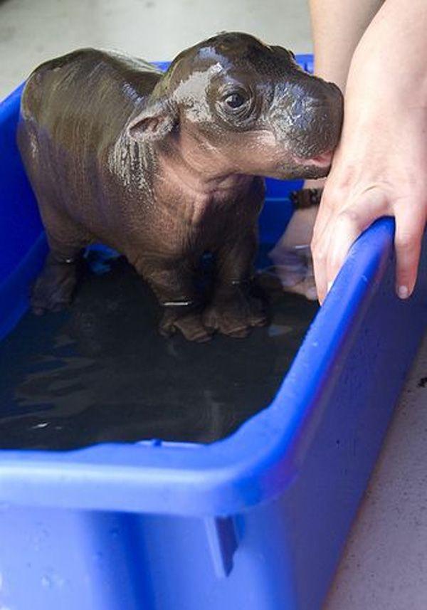 Baby Hippo Gets a Bath!