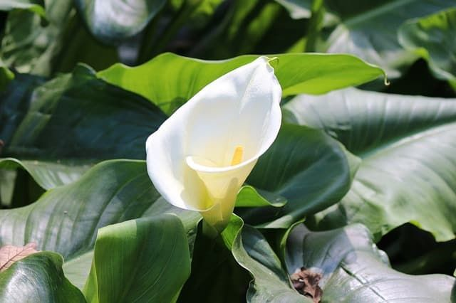 13 Common Flowers That Are Poisonous You Never Knew Lilly Plants Poisonous Plants Calla Lily