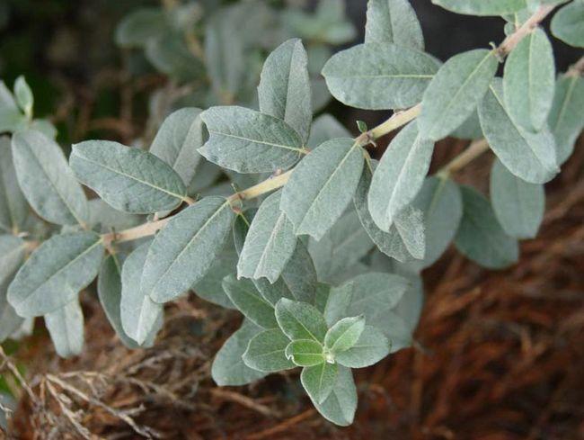Salix repens 'Nitida'