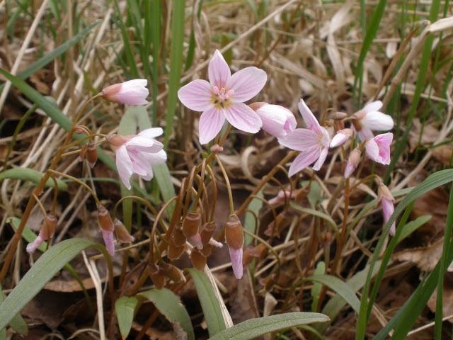 Wild Geraniums, Ontario Wild Flower