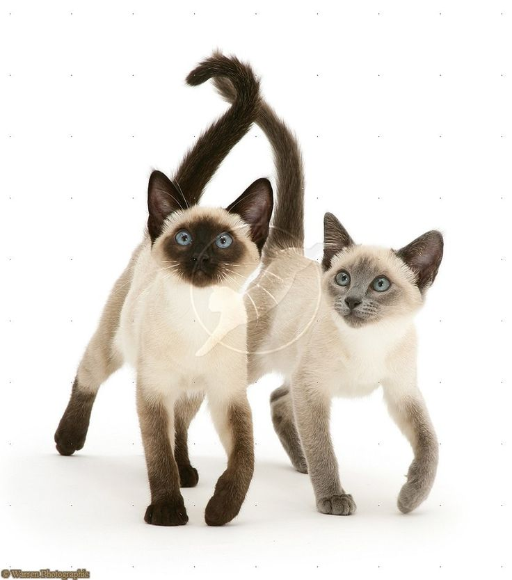 A Seal and a blue point siamese kittens