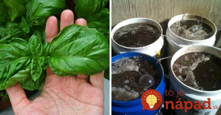 Ako vypestovať bazalku s obrovskými listami a zároveň zlepšiť kvalitu pôdy v záhrade? Takto sa to podarilo mne, nič iné už nepoužívam!