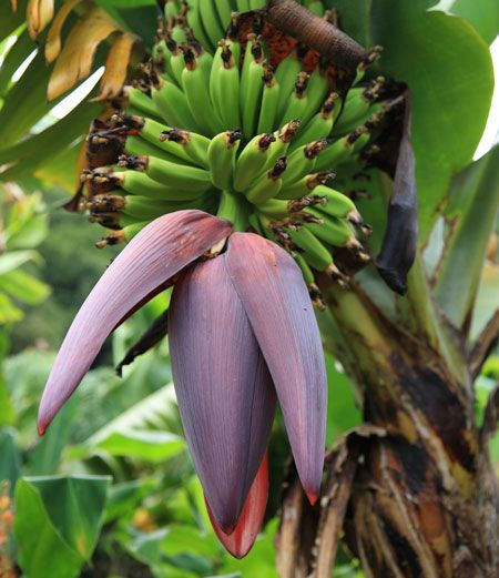 Dwarf Cavendish Banana Trees for Sale | Fast Growing Trees