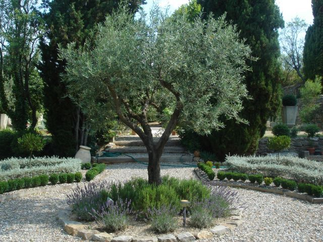 **Mediterranean garden: olive tree, rosemary and lavender (?) Add purple sensations to border. ADD LAVENDER IN DIFFERENT SHADES. ADD COTTON LAVENDER IN POT NEXT TO BOX IN POT. ****