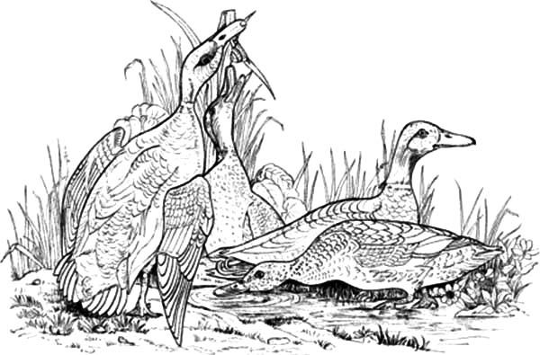 Wild Mallard Duck Coloring Pages Color Luna Mallard Duck Coloring Pages Mallard