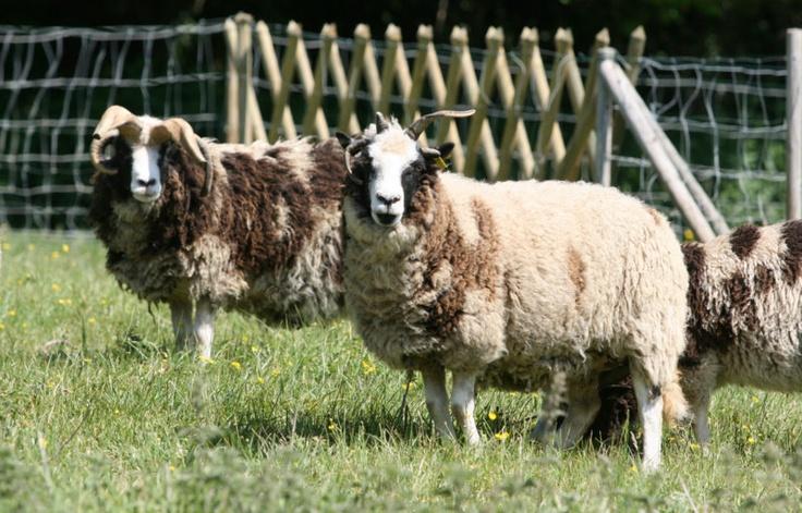 Je suis sur que vous les adorez déjà !!! Imaginez donc les agneaux qui gambadent au printemps au Domaine du Martinaa et ses gîtes en Normandie : www.martinaa.fr