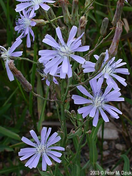 Mulgedium pulchellum (Showy Blue Lettuce): Minnesota Wildflowers