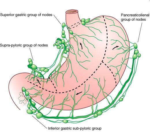 anatomia linfonodos gastricos - Pesquisa Google