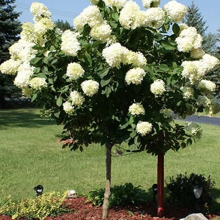 25 best ideas about hydrangea tree on pinterest hydrangea garden vanilla strawberry - Decorative small trees for landscaping ...