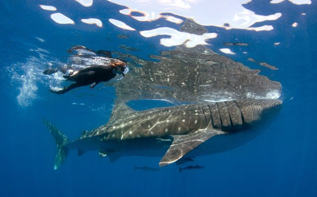 Snorkeling alongside the world's biggest fish, the whale shark
