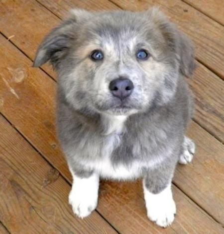 Collie / German Shepherd mix puppy