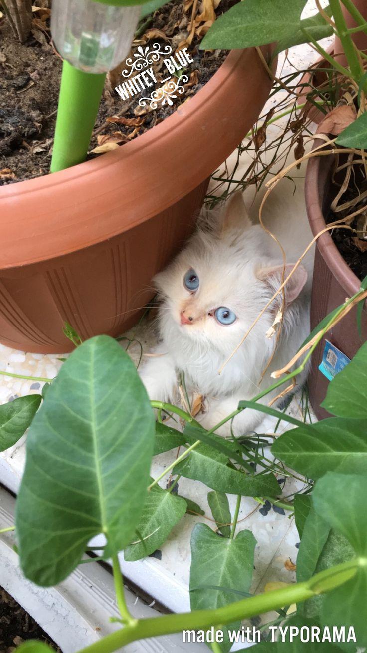 17 Terbaik Ide Tentang Kucing Ragdoll Di Pinterest Ragdoll