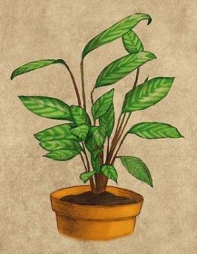 Never-Never plant Ctenanthe