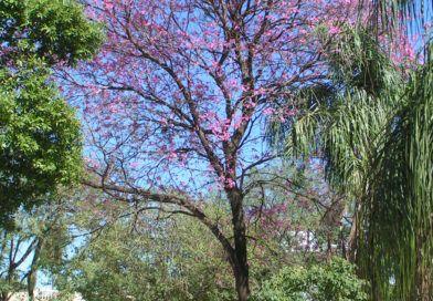 Pau d'Arco: Remedio natural contra hongos, parásitos, virus y bacterias