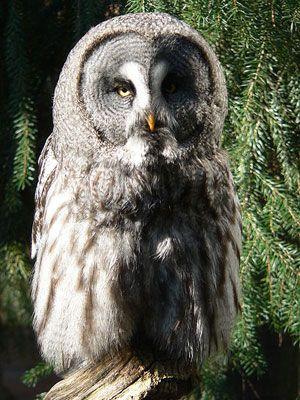 photos chouettes chouette alors hiboux moustache hiboux oiseaux hiboux owls love m owls big white moustache