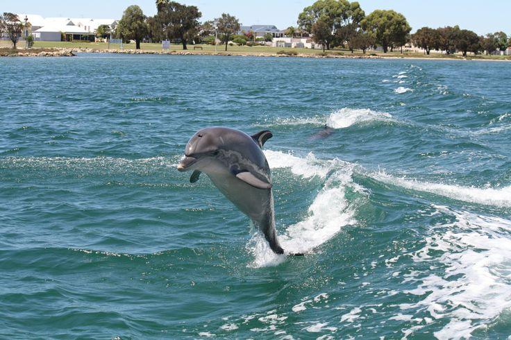 A classic Mandurah dolphin tail walk shot. #dolphin #watching #cruise