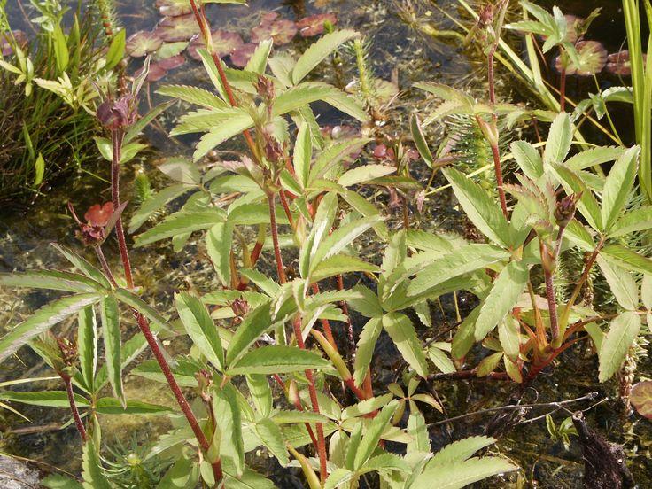 Comarum Palustre Purple marshlocks 3 stems