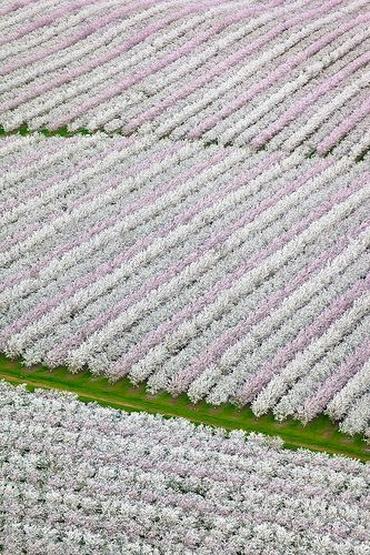 Blooming Almond Orchards, Sacramento Valley, California