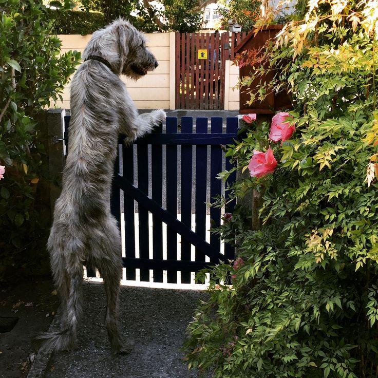 Edward. Guard duty. #irishwolfhound