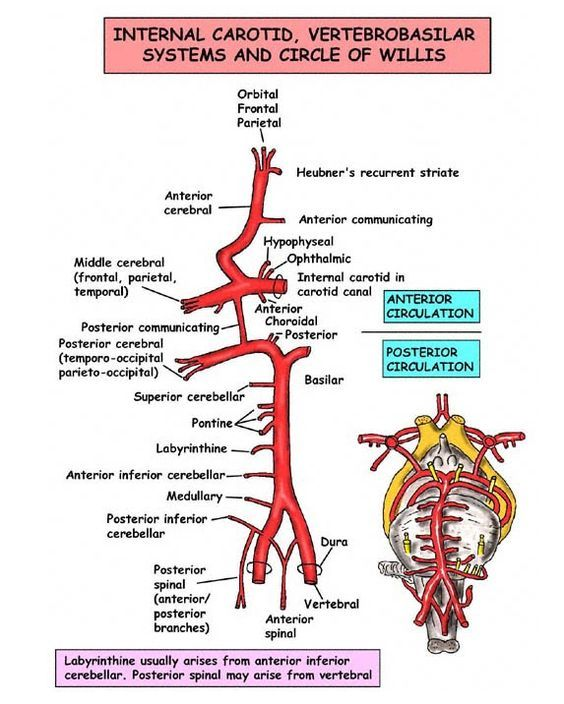 Circle Of Willis Blood Supply Of The Brain Medical School