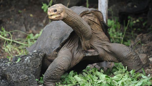 Esta especie de tortuga de tierra( Creo que se la conocía comúnmente como tortuga Pinta) se extinguió de las Islas Galápagos, único lugar donde vivía ,en 2012. Puede que haya sido la tortuga de tierra de  mayores dimensiones de la época contemporánea y no se debe confundir con la Tortuga Gigante de las Galápagos que es de tamaño mucho mas reducido y todavia existe.