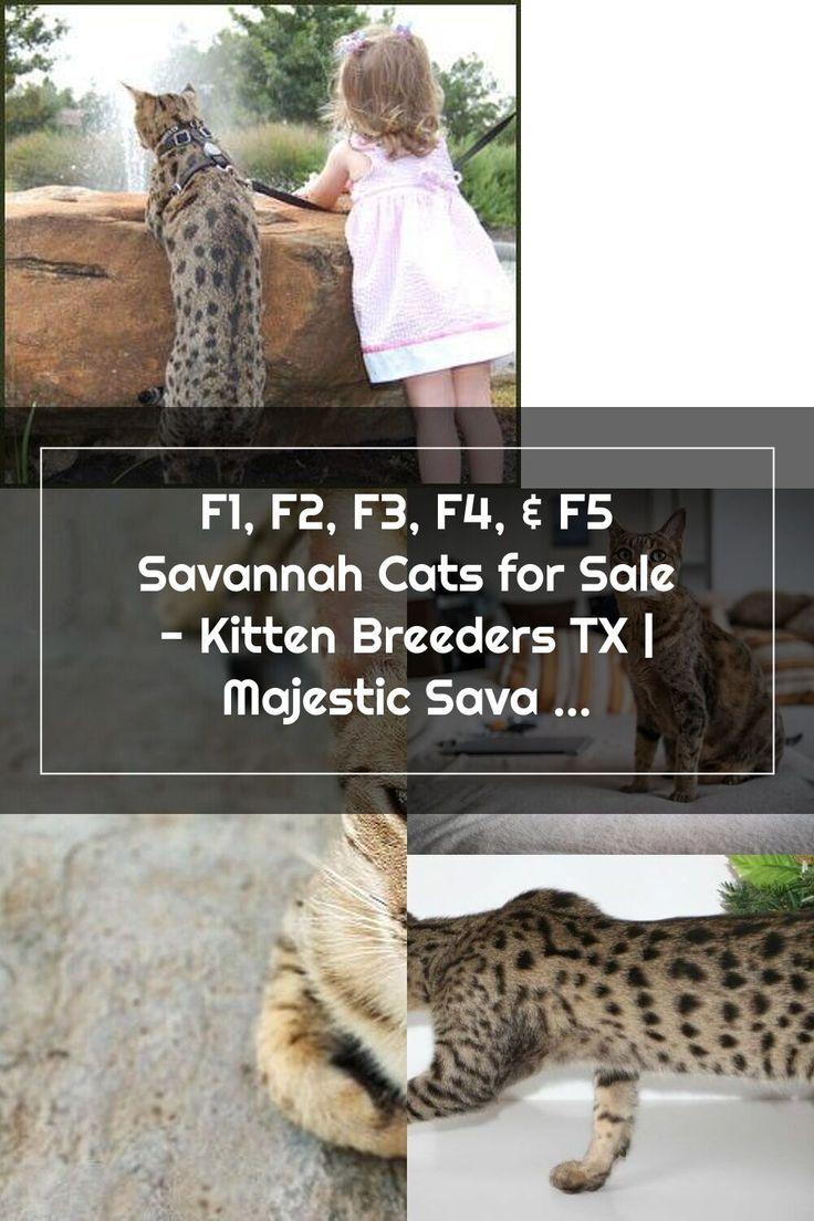 F2 Savannah, Vashi. F2 savannah cat, Bengal cat