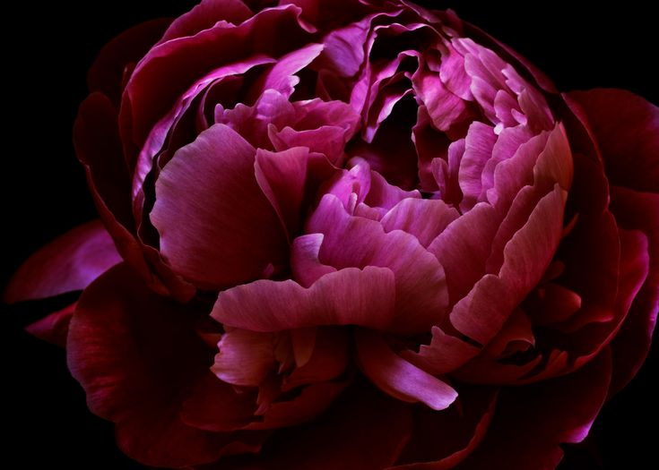Vibrant pink peony from a mixed bouquet reconstruction. The perfect artwork to remember a beautiful bouquet. Floragraphica | Modern bouquet preservation with photography