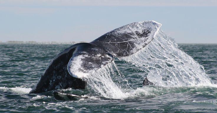 Gray whale, San Ignacio Lagoon, Baja, Mexico- The Great Gray Whales of Baja   Natural Habitat Adventures