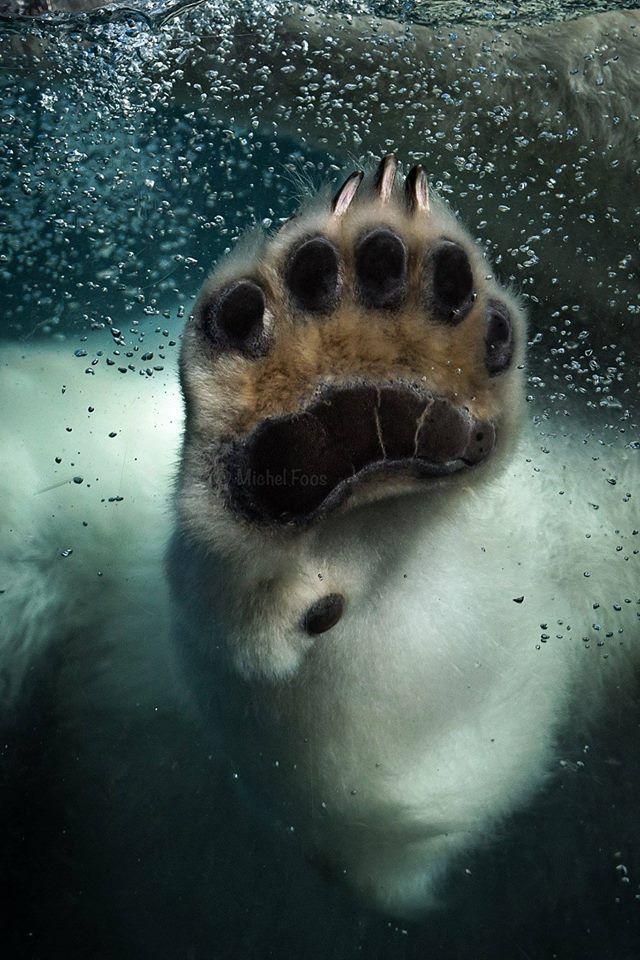 "raindropsonroses-65: ""Polar Bears International Photo by Michel Foos. """